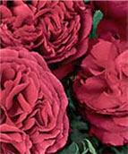 Rosemeade